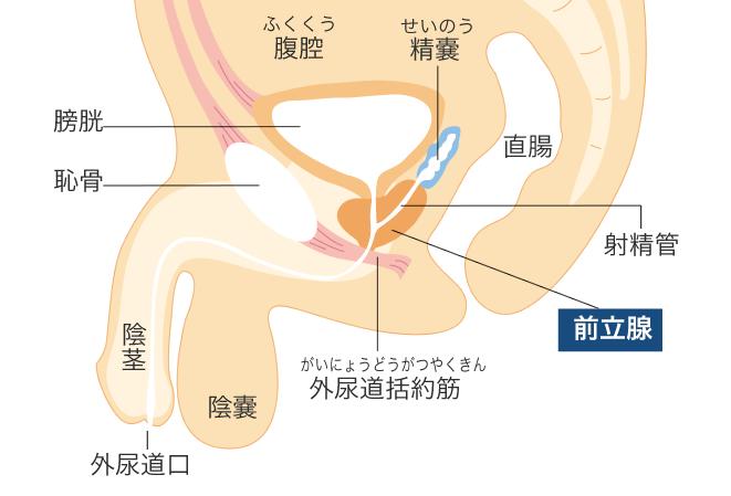 前立腺はどこにあるの?|What's前立腺がん